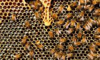 pappa reale mleczko pszczele